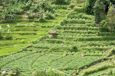 Terraced Rice Paddy and Vegetables Growing on the Fertile Sloping Hills of Central Java