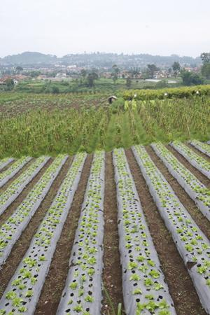 Well-Tended Market Garden, Lembang, Bandung District, Java, Indonesia, Southeast Asia, Asia