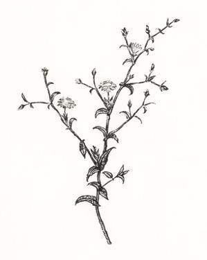 Wild Bloom Sketch II by Annie Warren