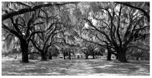 Avenue of oaks, South Carolina by Anonymous