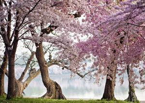 Cherry trees bloom, Washington, USA by Anonymous