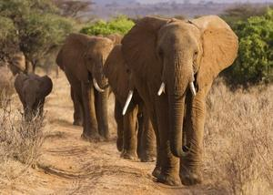 Herd of African Elephants, Kenya by Anonymous