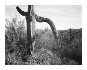 Cactus at left and surroundings, Saguaro National Monument, Arizona, ca. 1941-1942 by Ansel Adams