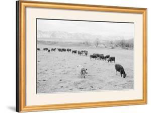 Cattle in South Farm by Ansel Adams