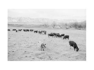 Cattle in South Farm by Ansel Adams