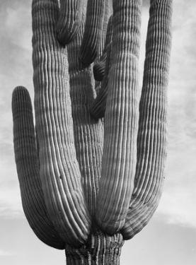 Detail of cactus Saguaros, Saguro National Monument, Arizona, ca. 1941-1942 by Ansel Adams