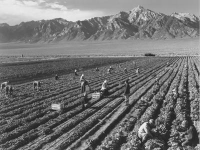 Farm workers harvesting  near Mount Williamson, Manzanar Relocation Center, California, 1943 by Ansel Adams