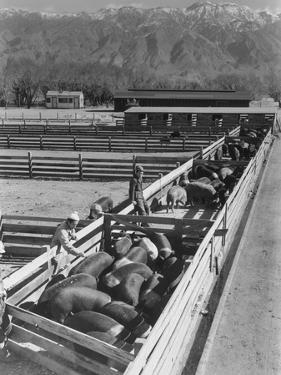 Hogs in pens being tended at Manzanar, 1943 by Ansel Adams