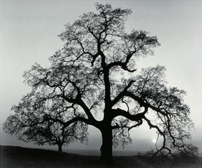 Oak Tree, Sunset City, California by Ansel Adams