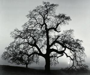 Oak Tree, Sunset City, California by Ansel Adams