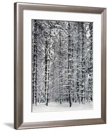 Pine Forest in Snow, Yosemite National Park, 1932 by Ansel Adams