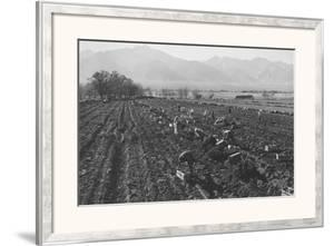 Potato Fields by Ansel Adams