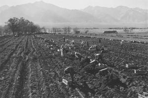 Potato Fields by Ansel Adams