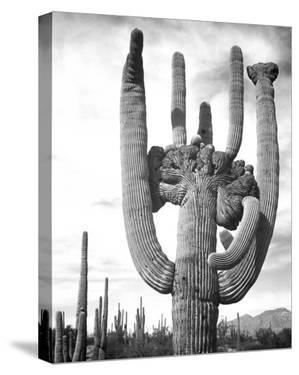 Saguaro National Monument, Arizona, ca. 1941-1942 by Ansel Adams