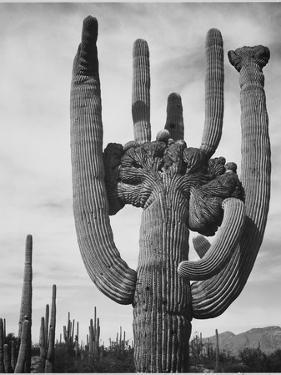 "View Of Cactus And Surrounding Area ""Saguaros Saguaro National Monument"" Arizona 1933-1942 by Ansel Adams"