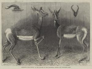 Antelopes from Soudan, in the Gardens of the Zoological Society