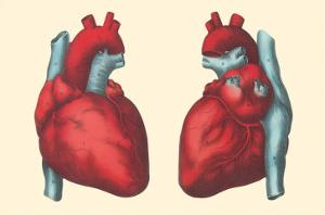Anterior and Posterior Views of the Heart