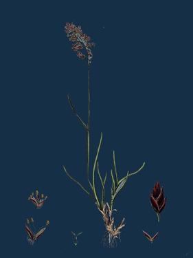 Anthemis Cotula; Stinking Mayweed
