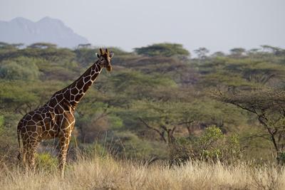 Kenya, Laikipia, Il Ngwesi, Reticulated Giraffe in the Bush