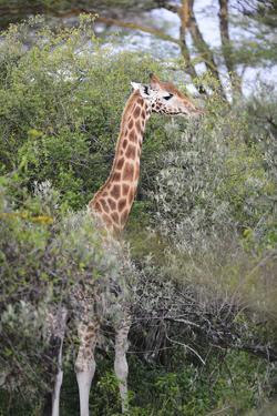 Kenya, Lake Nakuru National Park, Giraffe Eating from the Tree by Anthony Asael