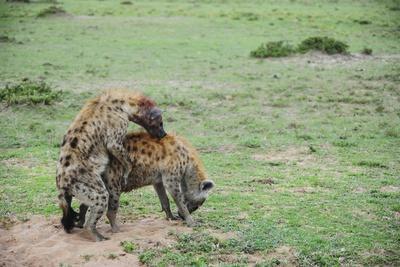 Kenya, Masai Mara National Reserve, Hyena Mating