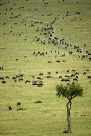 Kenya, Masai Mara, Thousands of Wildebeest Preparing of the Migration