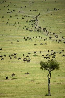 Kenya, Masai Mara, Thousands of Wildebeest Preparing of the Migration by Anthony Asael