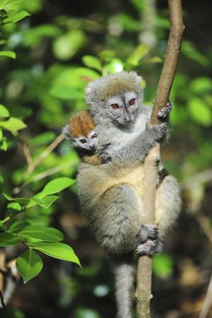 Madagascar, Andasibe, Mother and baby Golden Bamboo Lemur.