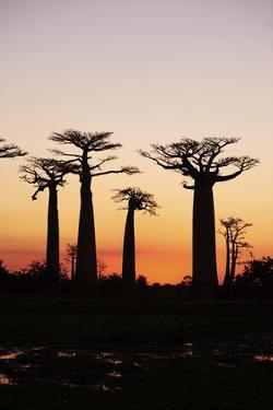 Madagascar, Morondava, Baobab Alley, Adansonia Grandidieri at Sunset by Anthony Asael