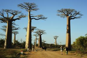 Madagascar, Morondava, Baobab Alley, Tourist Taking Pictures by Anthony Asael