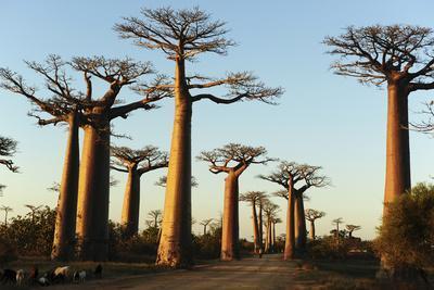 Madagascar, Morondava, Baobab Alley, View on Adansonia Grandidieri