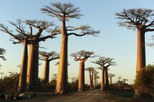 Madagascar, Morondava, Baobab Alley, View on Adansonia Grandidieri by Anthony Asael
