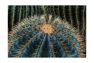 Three Barrel Cactus