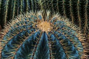 Three Barrel Cactus by Anthony Paladino