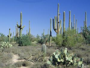 Saguaro Organ Pipe Cactus and Prickly Pear Cactus, Saguaro National Monument, Tucson, Arizona, USA by Anthony Waltham