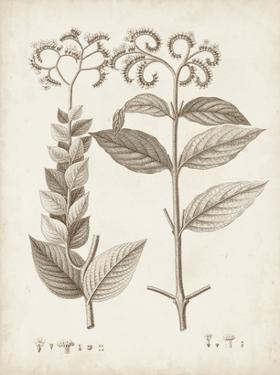 Antique Sepia Botanicals VI by 0 Unknown