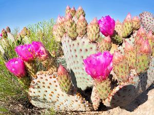 Blooming Beavertail Cactus in Mojave Desert. by Anton Foltin