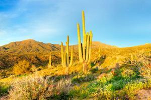 Saguaros by Anton Foltin