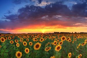 Beautiful Field of Sunflowers on the Sunset Background by Anton Petrus