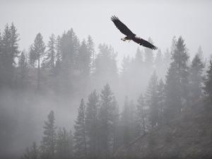 Bald Eagle (Haliaeetus Leucocephalus) Flying over the Trees, Coeur D'Alene Lake, Idaho, USA by Antonio Busiello