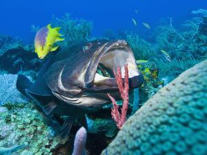 Black Grouper (Mycteroperca Bonaci) at Cleaning Station, Roatan, Bay Islands, Honduras, Caribbean by Antonio Busiello