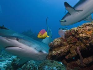 Caribbean Reef Shark (Carcharhinus Perezii) and Coral Reef Fish, Roatan, Bay Islands, Honduras by Antonio Busiello