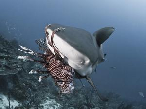 Caribbean Reef Shark (Carcharhinus Perezii) Eating Lionfish (Pterois Volitans), Roatan, Honduras by Antonio Busiello