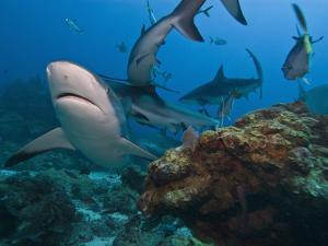 Caribbean Reef Shark (Carcharhinus Perezii), Roatan, Bay Islands, Honduras, Caribbean by Antonio Busiello