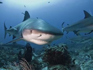 Caribbean Reef Shark (Carcharhinus Perezii) Swimming with Diver, Roatan, Bay Islands, Honduras by Antonio Busiello