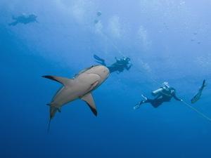 Caribbean Reef Shark (Carcharhinus Perezii) Swimming with Divers, Roatan, Bay Islands, Honduras by Antonio Busiello