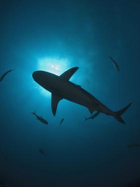 Caribbean Reef Shark (Carcharhinus Perezii) Swimming with Sun Seen from Below, Roatan, Honduras by Antonio Busiello