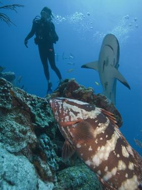 Diver, Nassau Grouper (Epinephelus Striatus), Caribbean Reef Shark (Carcharhinus Perezii), Honduras by Antonio Busiello