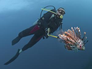 Diver Spearfishing Lionfish (Pterois Volitans), Roatan, Bay Islands, Honduras, Caribbean by Antonio Busiello