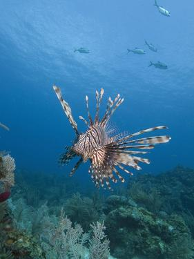 Lionfish (Pterois Volitans), Roatan, Bay Islands, Honduras, Caribbean, Central America by Antonio Busiello